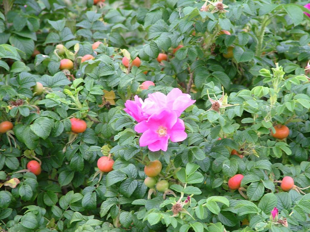 Dog Rose Flowers Garden Pictures