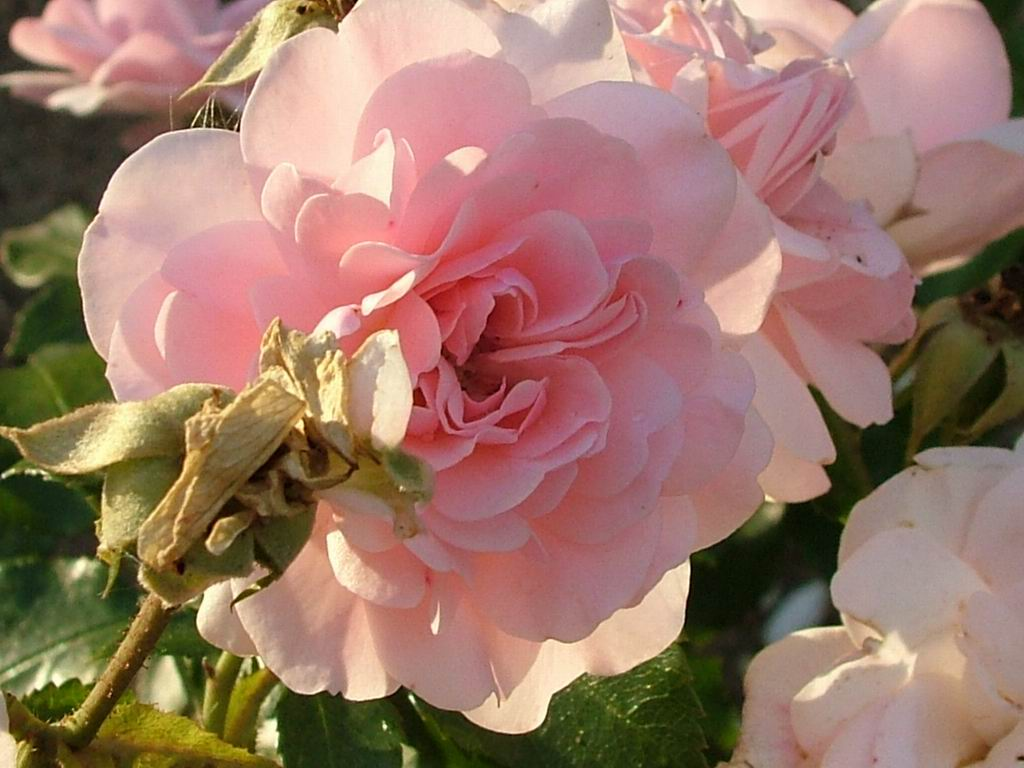 http://7art-screensavers.com/flowers/2004-08-15-kolontaevo-flowers/tender-pink-rose.jpg