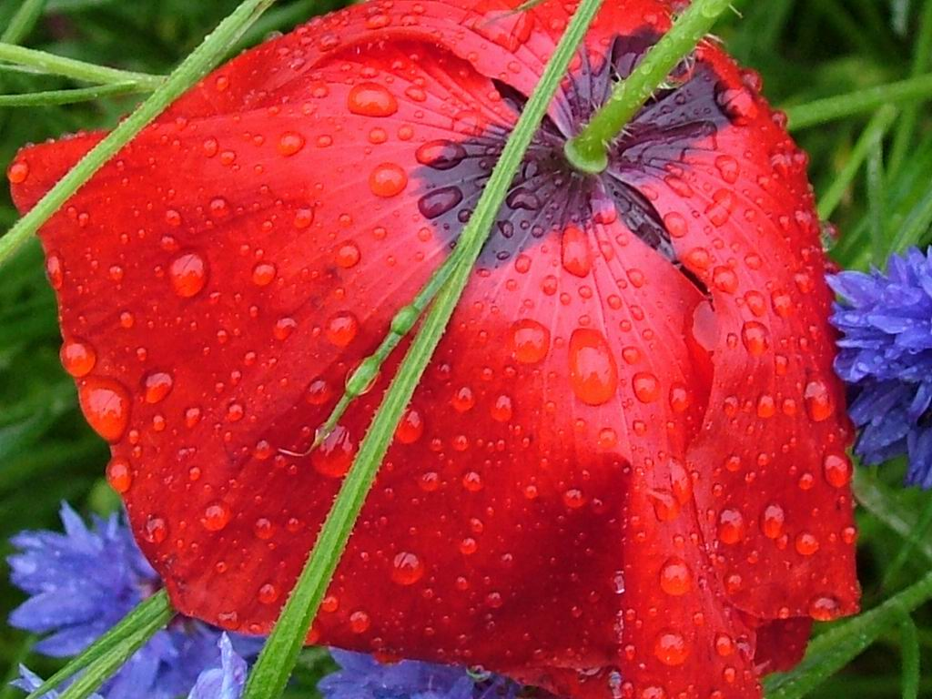 the reddest wet poppy flower