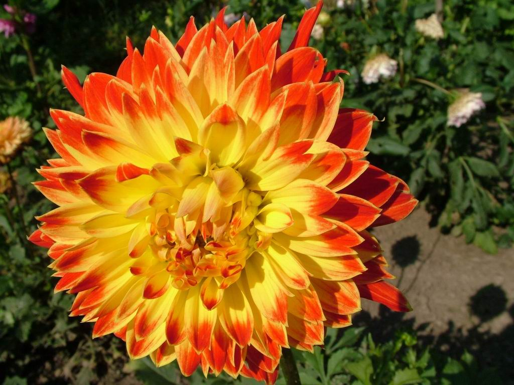 http://7art-screensavers.com/flowers/2004-08-19-flowers-photos/Dahlia-Decorative-yellow-red-flower.jpg