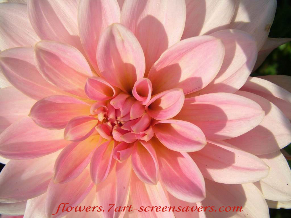Dahlia-decorative-bin-pink-flower