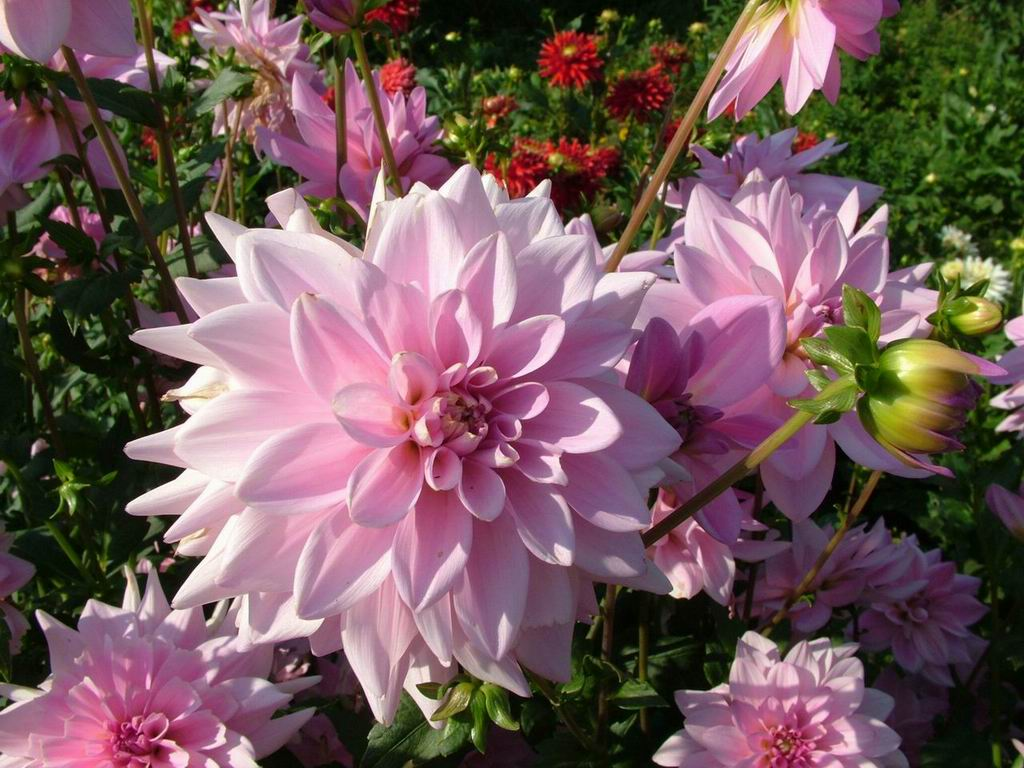 http://7art-screensavers.com/flowers/2004-08-19-flowers-photos/Dahlia-decorative-tender-pink-flowers.jpg