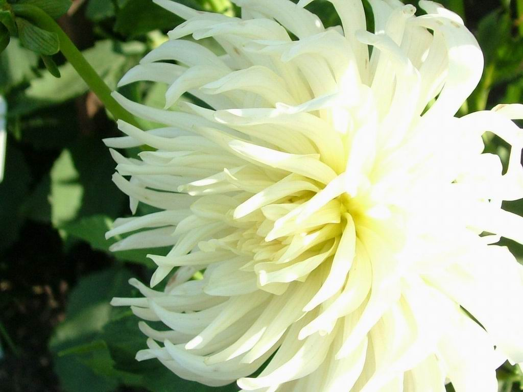Index of flowers2004 08 19 flowers photos big white flowerg izmirmasajfo