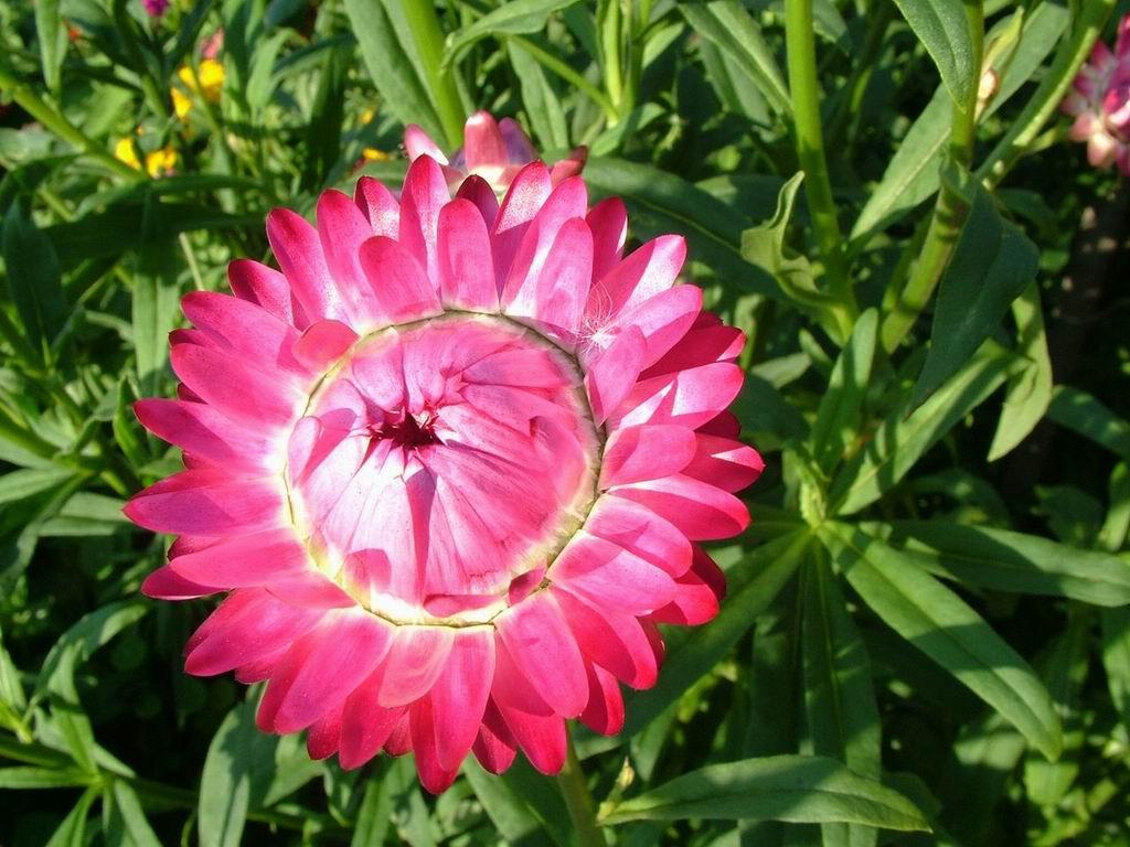 round rose flower