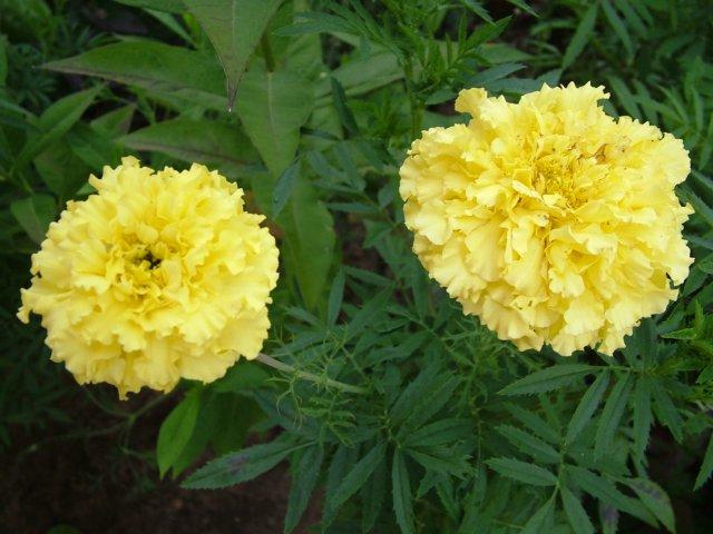 Уличные цветы в горшках фото и