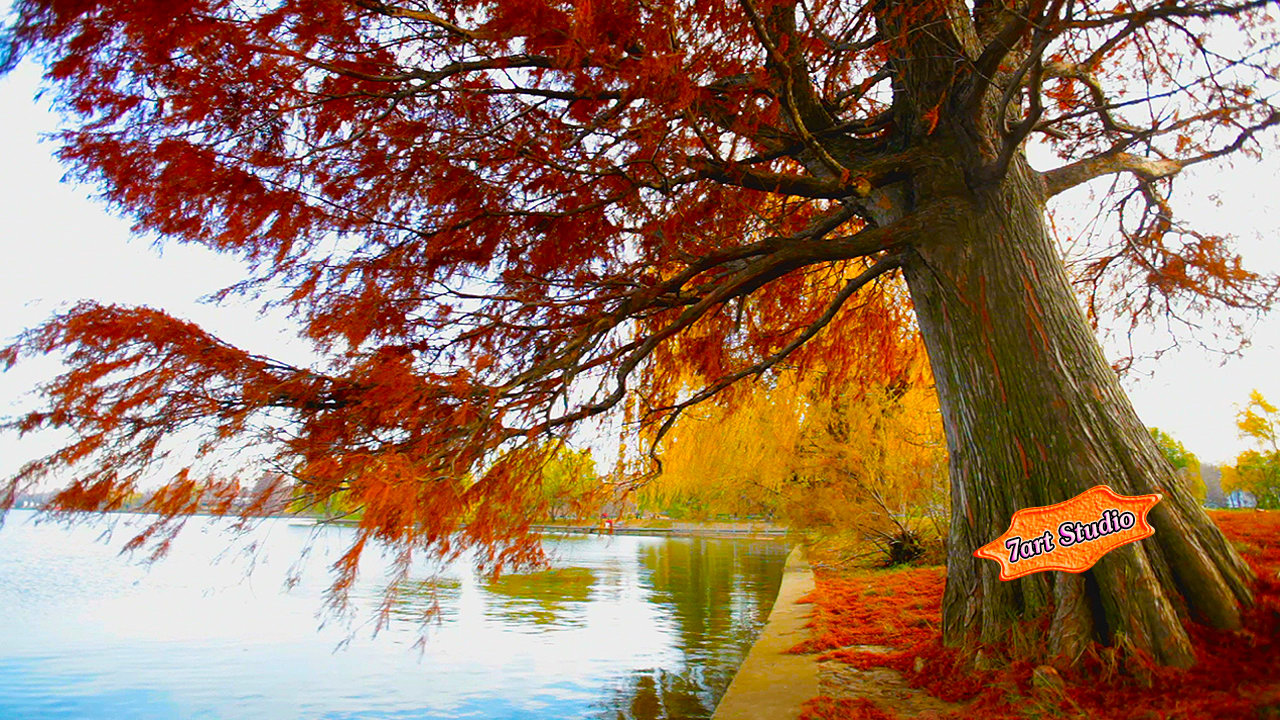 Solar Beams Are Dancing In Reflections Of Charming Pond The Water Surface Is Sparkling Autumn Willow Screensaver And Live Animated Wallpaper