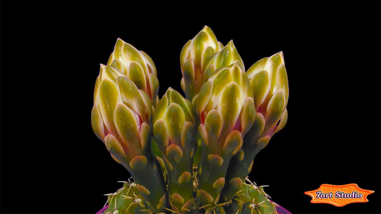 flower cactus bud screensaver u0026 animated desktop wallpaper makes