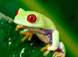 Magnificent Frogs croaking in the bogs... Singing their songs like a nightly bongs... Googling their eyes with a greenish spice... In these lively slides take us for the rides...