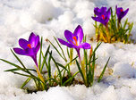 Crocus golden garden buds blue hyacinth and saffron violet is blooming on the snow wite field. Bright purple Crocus flowers and golden buds grown for you among white ice snow! It is the spring time! Early spring time! Spring is coming and crocus flowers in bloom! But snow is still lies on the garden bed fields and flowerbeds.