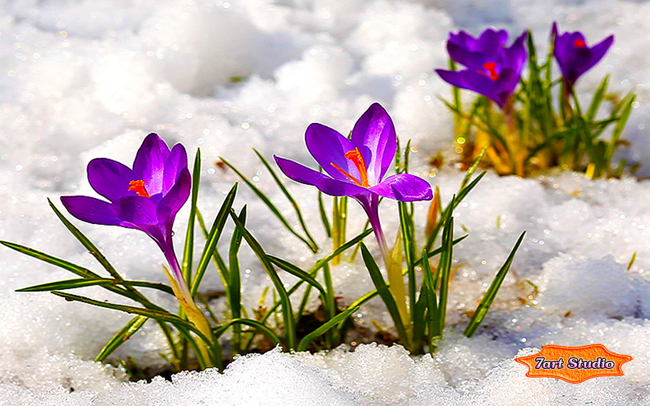 Crocus in snow wallpaper images galleries with a bite - Flowers that bloom from spring to fall ...