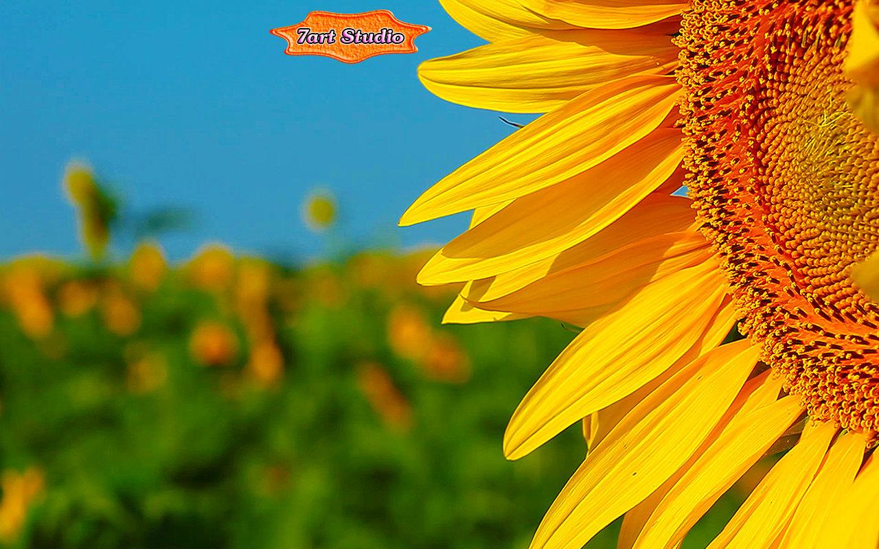 flowering sunflower screensaver & animated desktop wallpaper