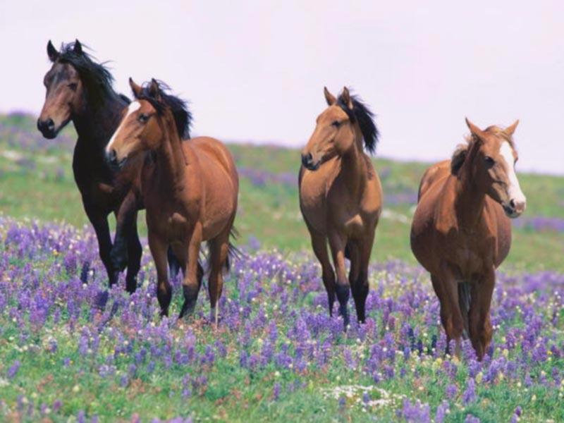 7art Graceful Horses ScreenSaver