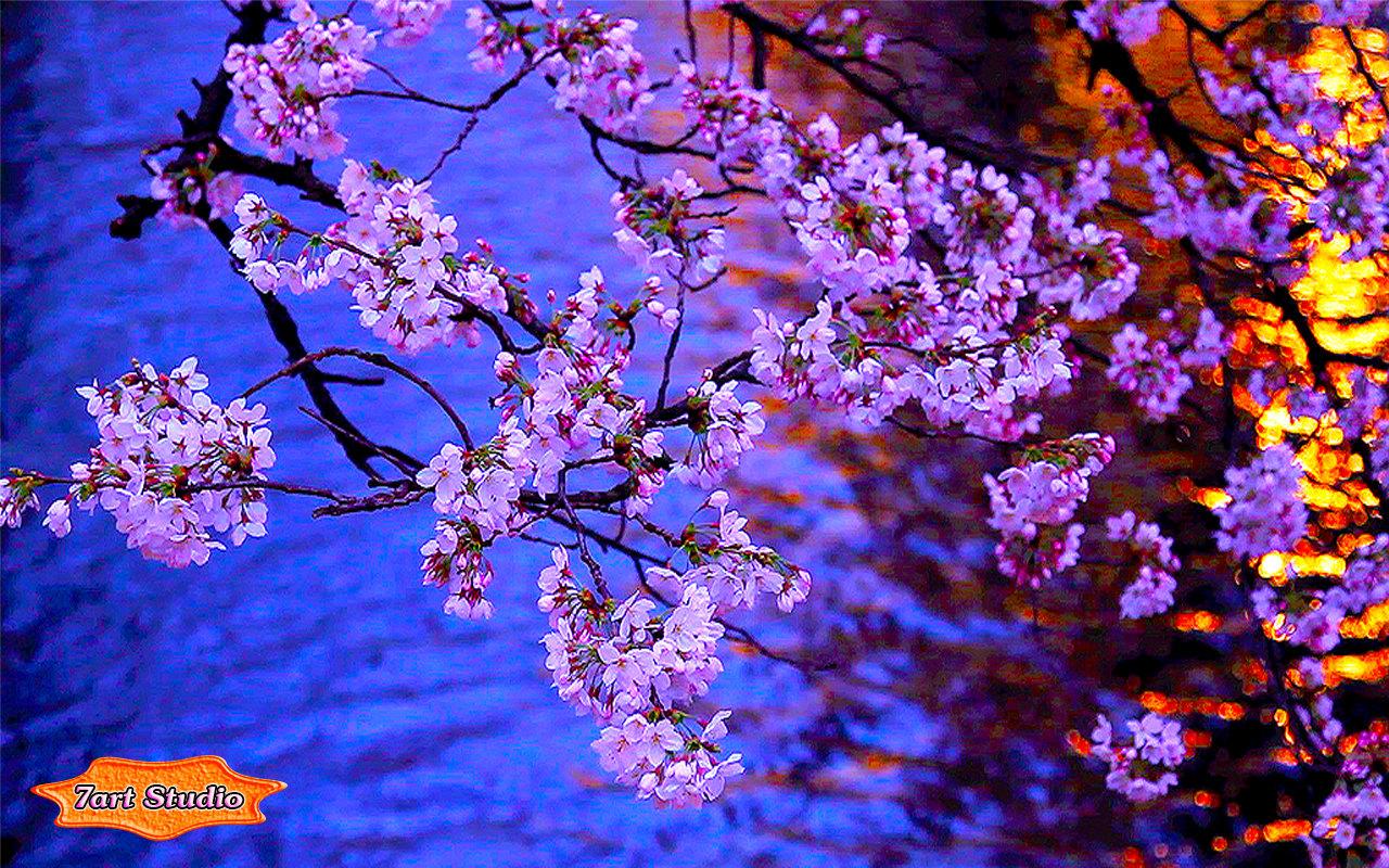 cherry blossom tree at night wallpaper wwwpixsharkcom