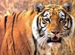 7art Stunning Tigers ScreenSaver brings you lovely Tigers in amazing 33-shots slideshow.