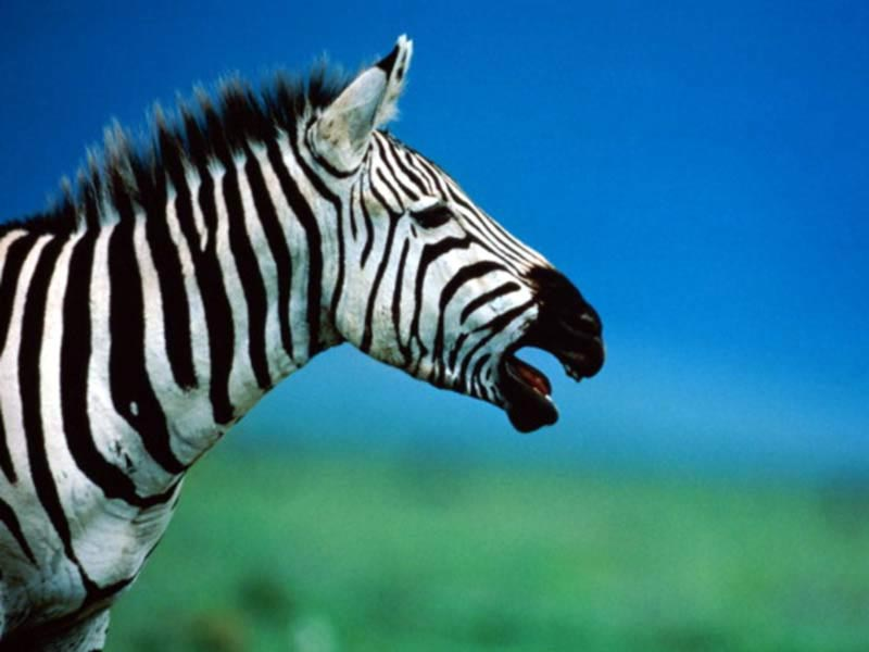 7art Stripy Zebras ScreenSaver