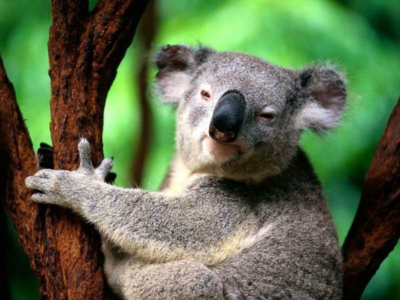 Koala Bear Angry Angry Koala Bear Angry koala
