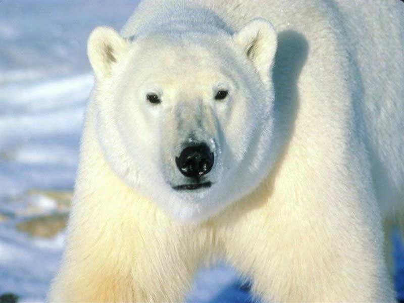 big-white-bear.jpg