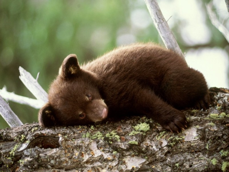 http://7art-screensavers.com/screenshots/bears/brown-bear-cub-on-the-tree.jpg