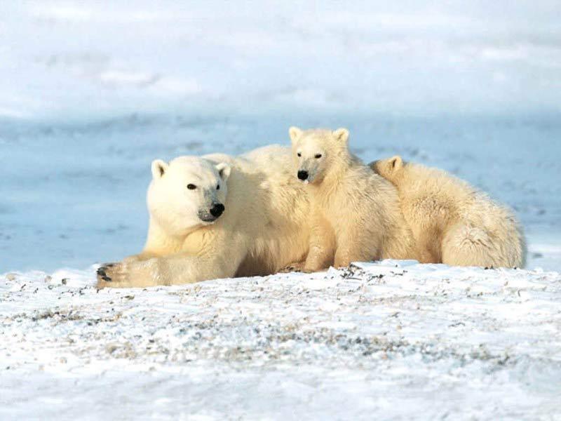 http://7art-screensavers.com/screenshots/bears/polar-bears.jpg