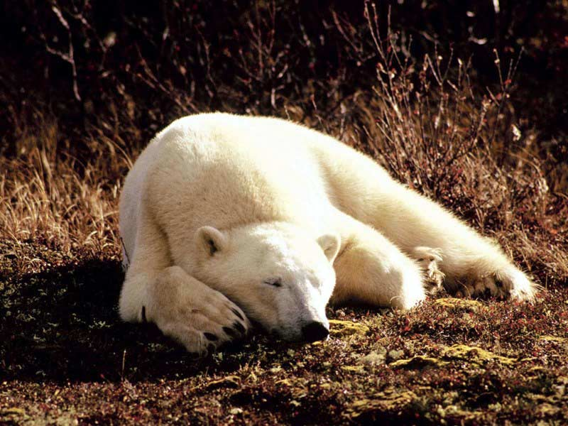 white-bear-on-the-ground.jpg