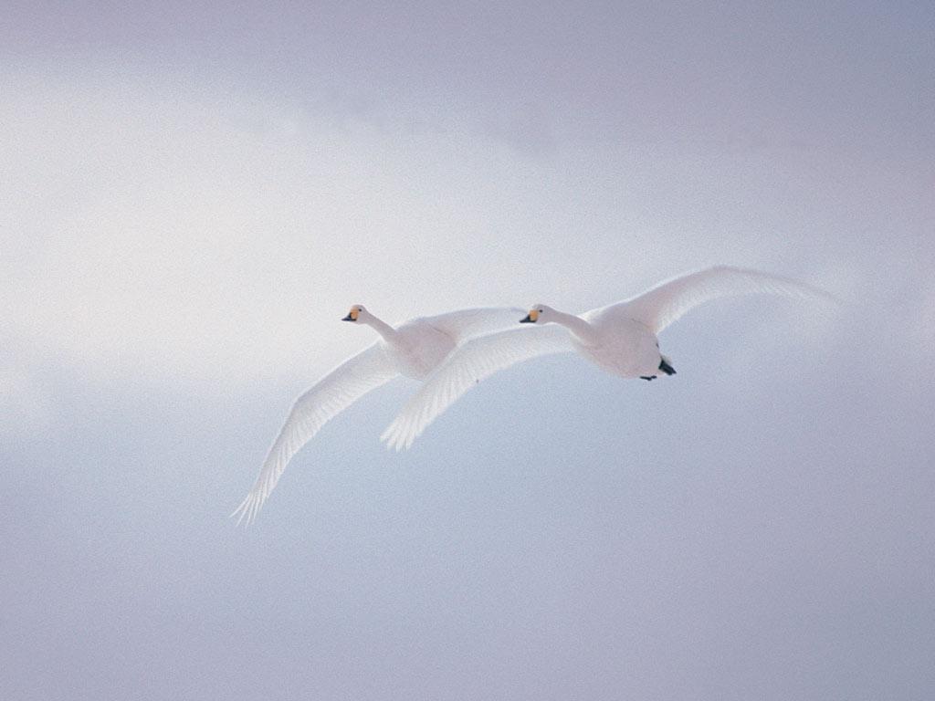Razne ptice - Page 3 White-swans