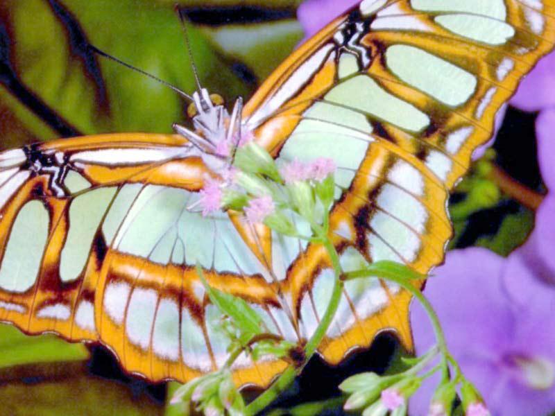 فراشات غاية الروعة والجمال amazing-butterfly.jpg