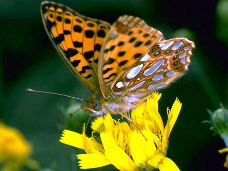Brown Erfly On Yellow Flower