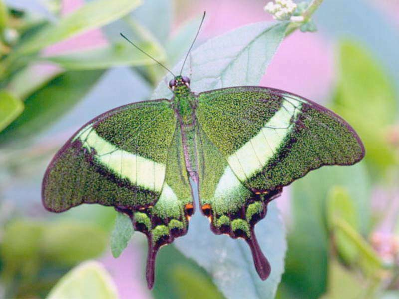 Leptiri - Page 6 Green-butterfly