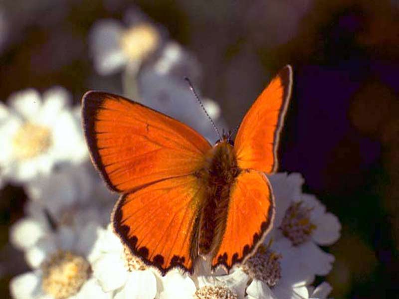 reddish-butterfly-white-flowers