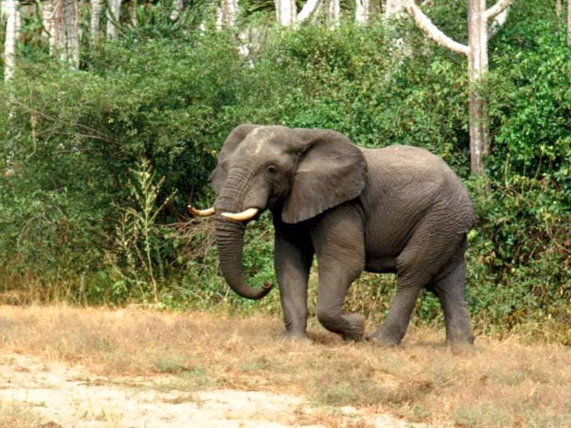 Elephant Drawing Color Elephant Walking Colorful