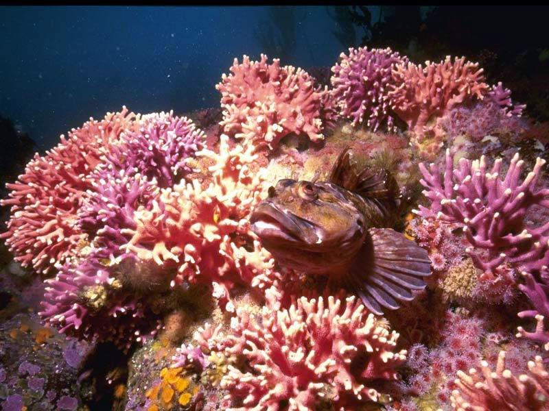 Podvodni cudesni svet - Page 3 Biting-fish-in-purple-corals