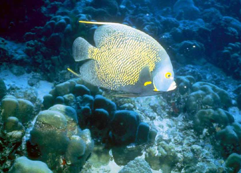 Blue fish with near corals