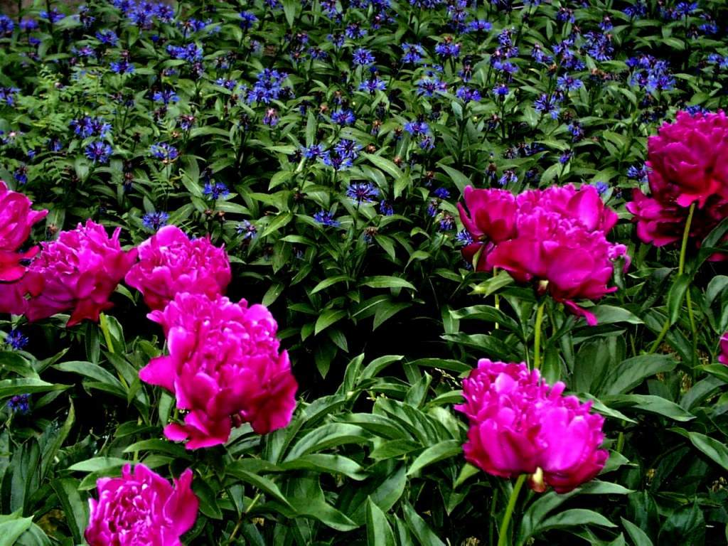 Index of screenshotsflowers pro blue and purple flowersg izmirmasajfo Image collections