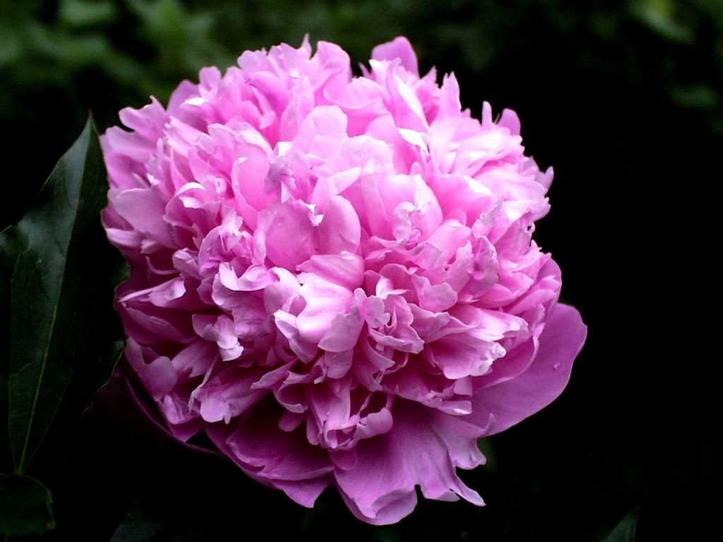 Pink Tender Flower Jpg