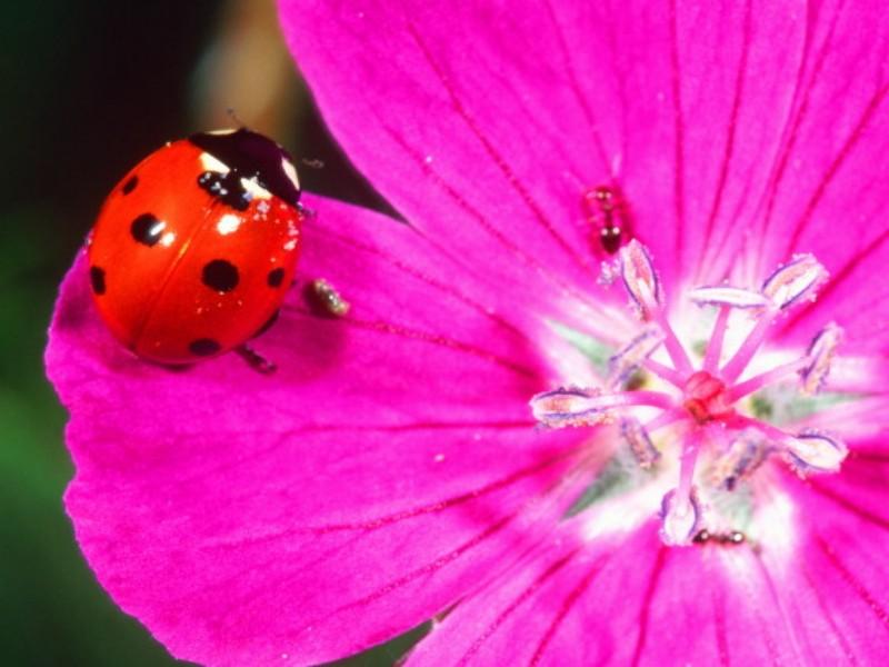 ladybird-on-purple-flower