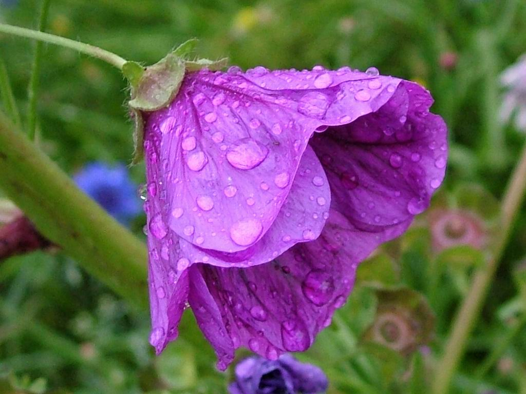 زهره البنفسج wet-violet-flower.jpg