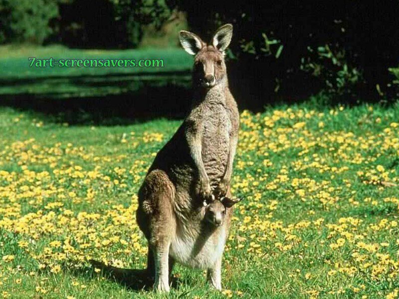 http://7art-screensavers.com/screenshots/wild-animals/kangaroo.jpg