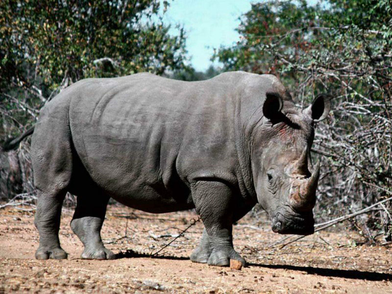 Wild Animals Pictures rhino