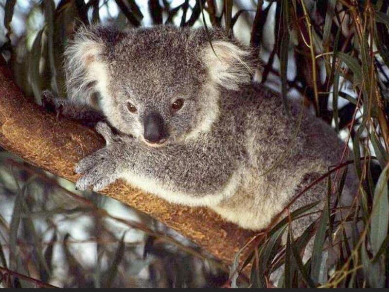 tree-koala