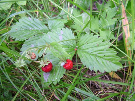 Get full resolution wild-strawberries image for free!