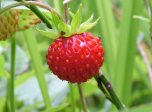 click to zoom in wild-strawberry!