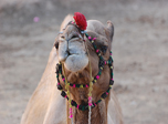 click to zoom in nodding-camel!