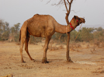click to zoom in attached-camel!