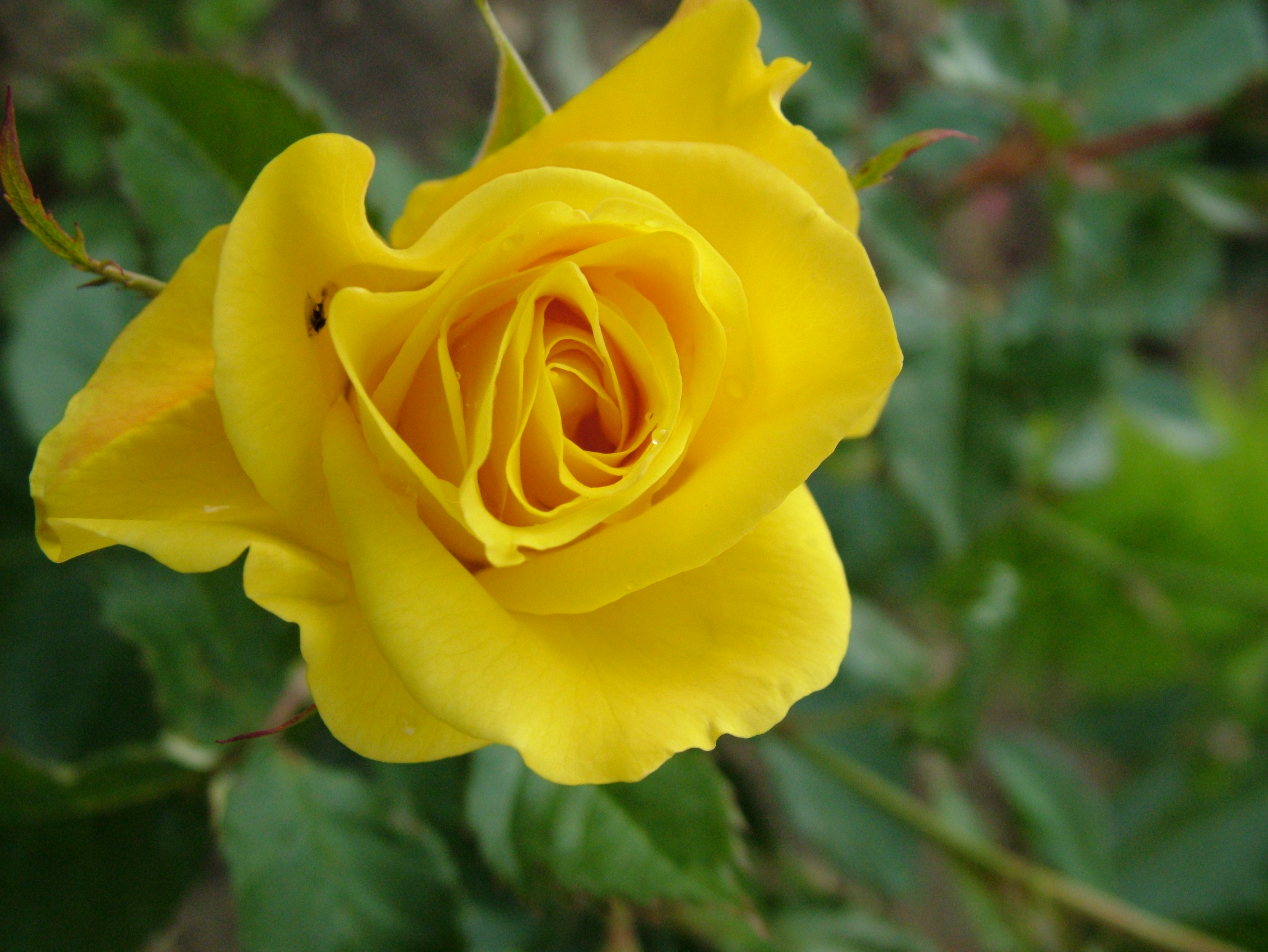 Download Charming Yellow Rose Image In Hi Res