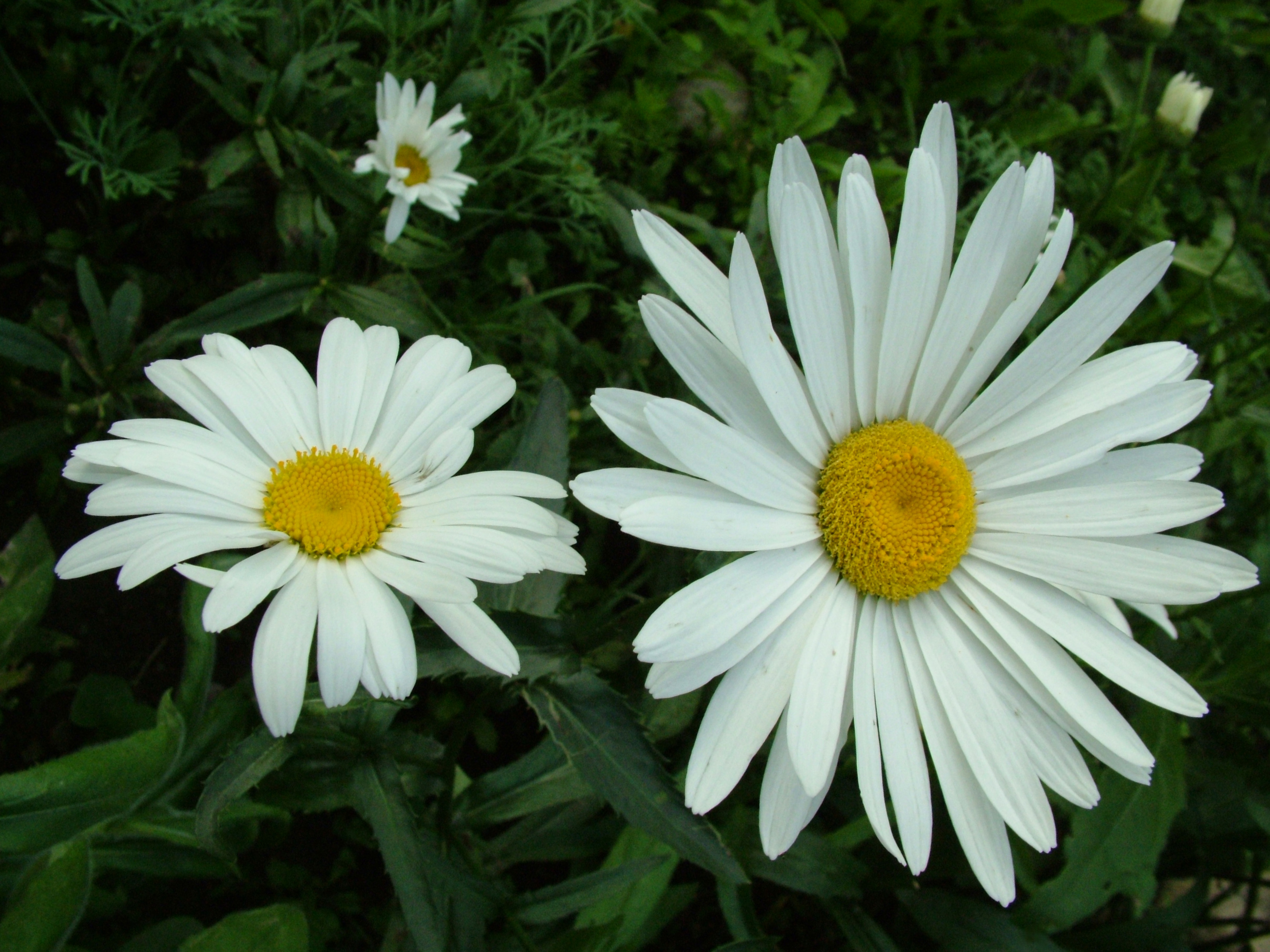 download perfect daisy flowers image in hi res