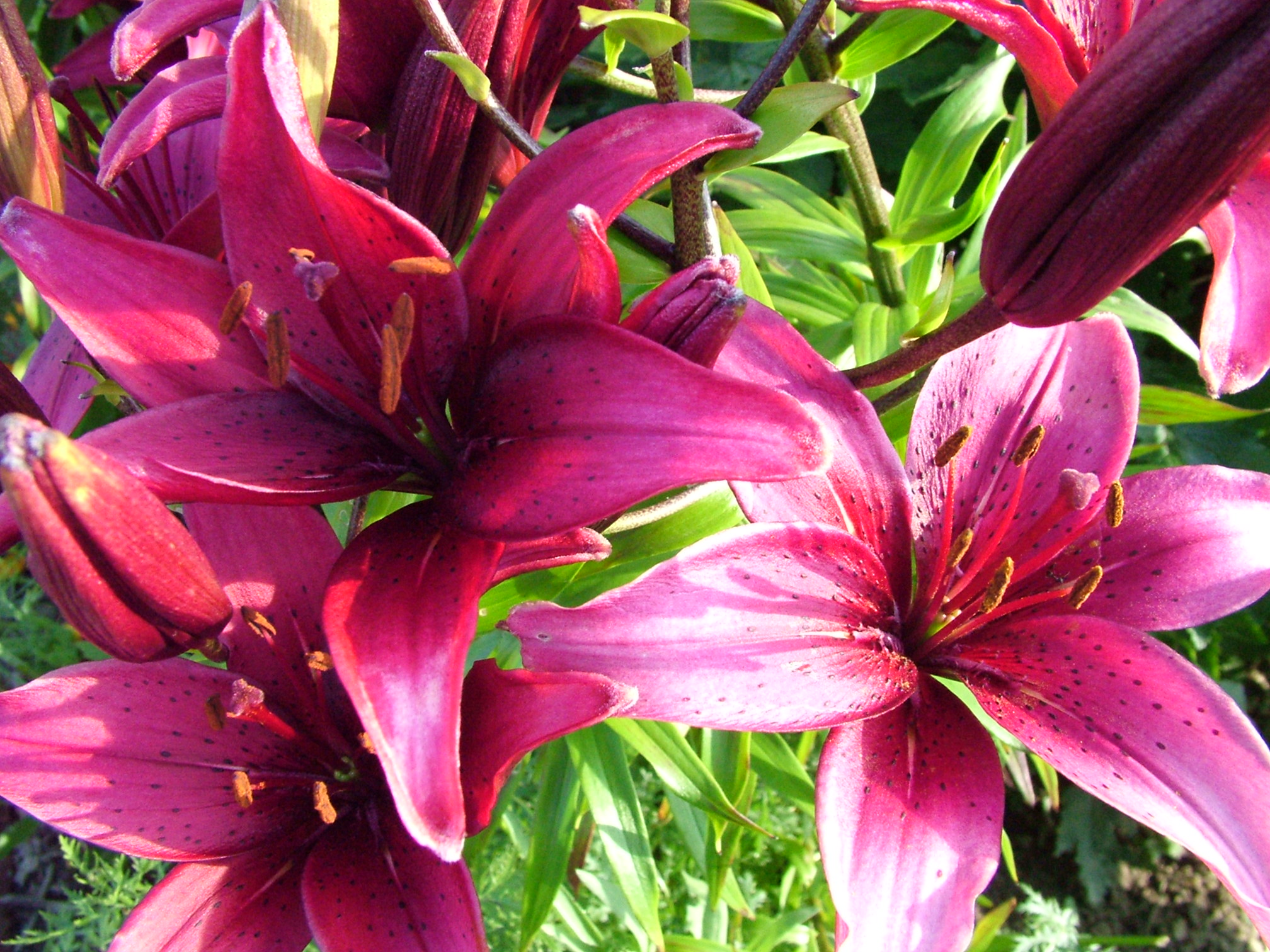 purple lily flower plant - photo #29