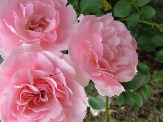 buona notte dans immagini buon...notte, giorno 7art-00418_three-rose-flowers