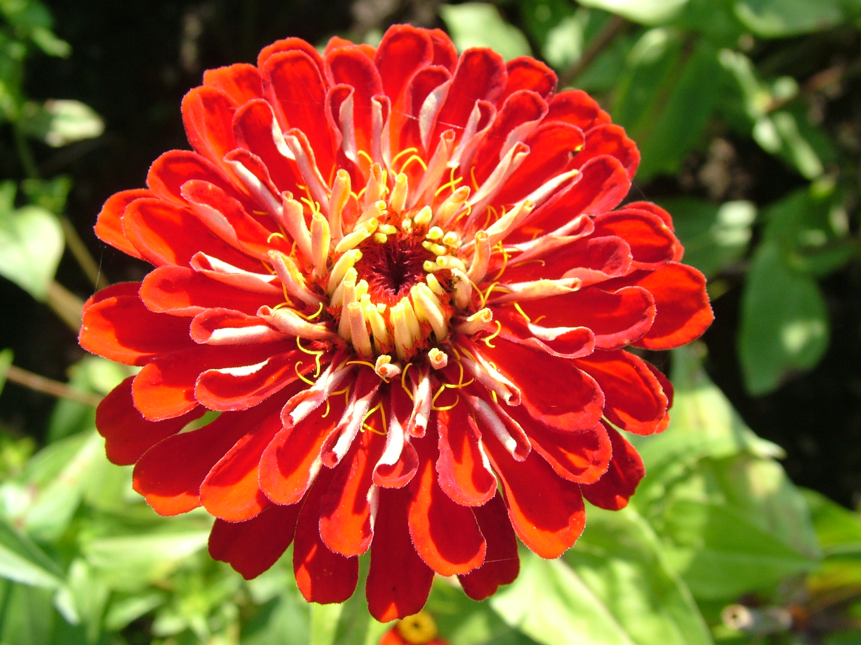 Free 7art flowers clipart and wallpapers royalty free zinnia red flower stoc