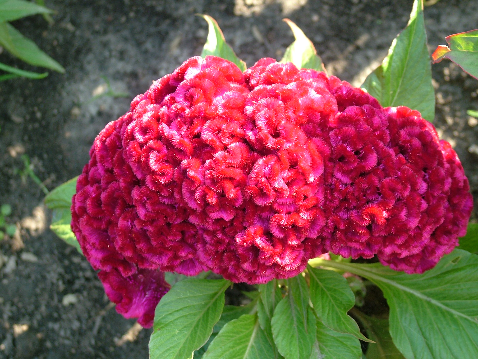 Click this image to download full resolution celosia-flower photo free ...