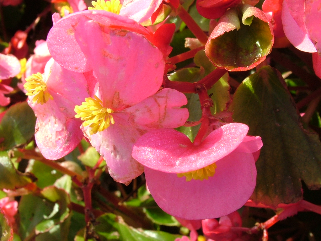 Begonia Flowers Image